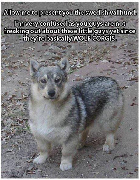 A f*cking wolf corgi!!! - Win Picture   Webfail - Fail ...